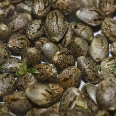 Auto Cannabis Seeds: What Are They?
